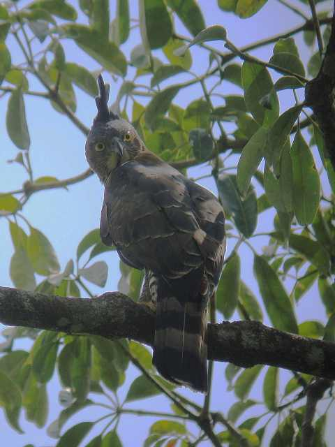 Wallace's Hawk Eagle