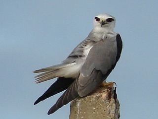 Black-shouldered Kite / Birding2asia.