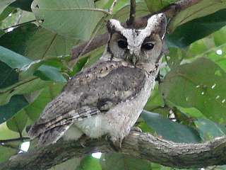 Collared Scops Owl / Birding2asia