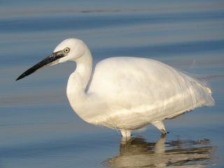 Little Egret / Birding2asia