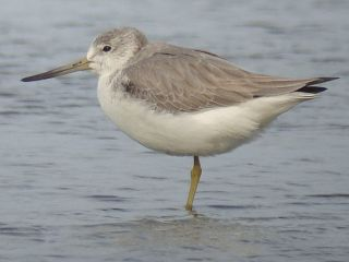 Nordmann's Greenshank by Stijn De Win for Birding2asia photo gallery.