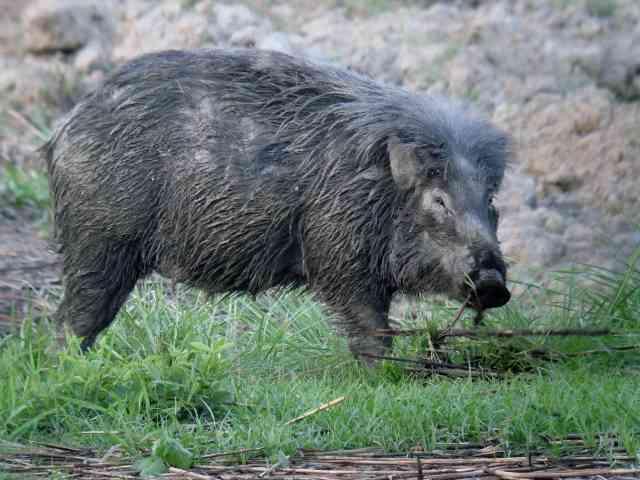 Asian Wild Boar - Ebony Foot Job Giant Wild Boars In Asia