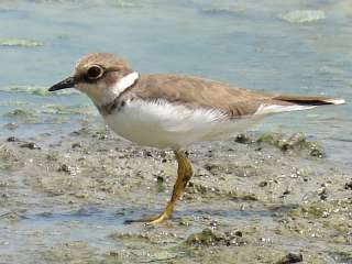 Little Ringed Plover photographed at Pak Thale, Gulf of Thailand.