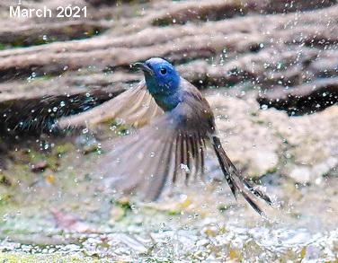 Birding Asia