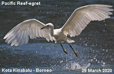 Birding Borneo
