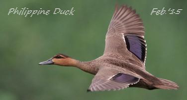 Philippine Duck