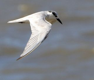 Whiskered Tern © Paul Killick