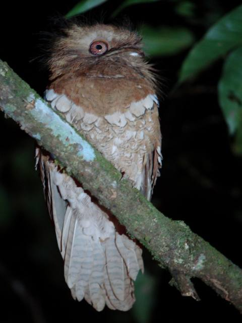 Philippine Frogmouth / Birding2asia