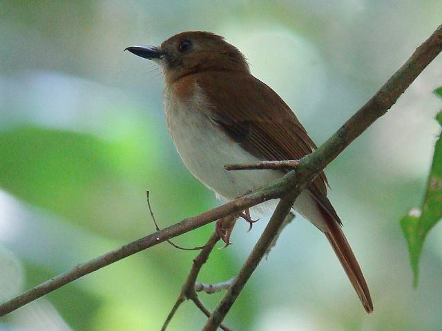 Rufous-tailed Jungle-Flycatcher