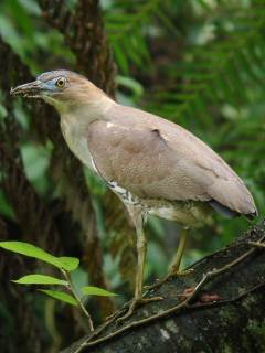 Malayan Night Heron � Stijn De Win