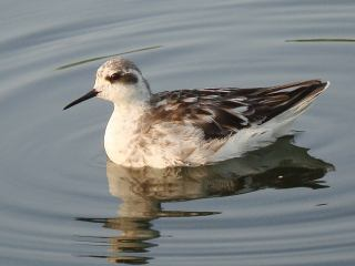 Red-necked Phalarope � Stijn De Win
