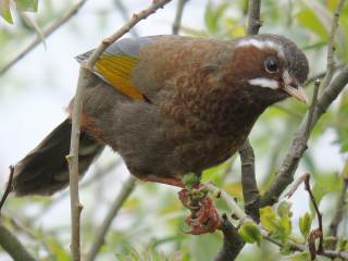 White-whiskered Laughingthrush � Stijn De Win