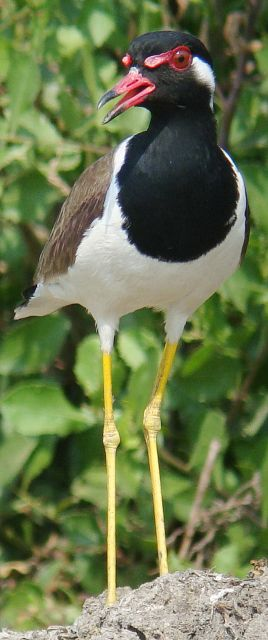 nature animals of red wattled lapwing bird