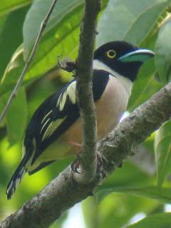 Black-and-yellow Broadbill / Birding2asia