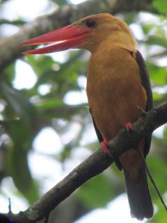 Brown-winged Kingfisher / Birding2asia