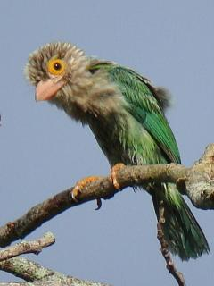 Lineated Barbet / Birding2asia
