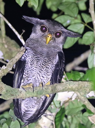 Barred Eagle-Owl at Kinabatangan