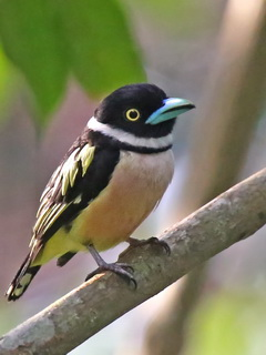 Black-and-Yellow Broadbill at Sepilok