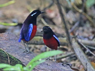 Pair Black-headed Pitta