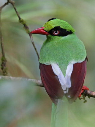 Bornean Green Magpie on Mt Kinabalu