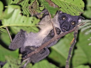 Bornean Striped Palm Civet