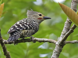 Buff-rumped Woodpecker