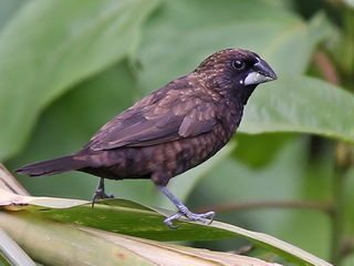 The endemic Dusky Munia