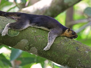 Sepilok Giant Squirrel