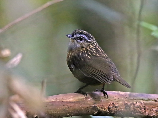 The endemic Mountain Wren-Babbler