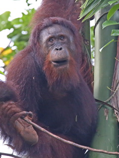 Orangutan in Borneo Rainforest