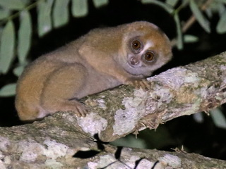 Slow Loris at Sepilok