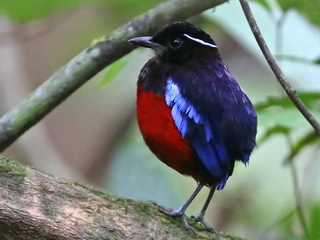 Black-crowned Pitta at Kinabatangan