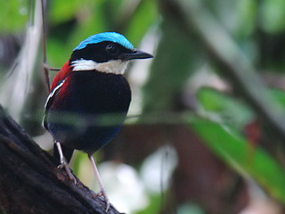 Borneo Blue-headed Pitta