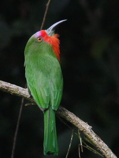 Red-bearded Bee-eater at Danum Valley