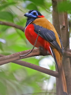 Red-naped Trogon at Sepilok