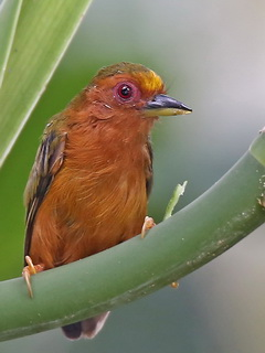 Rufous Piculet at Gomantong