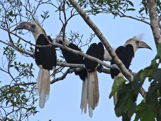 White-crowned Hornbill at Kinabatangan