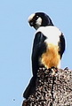 The endemic White-fronted Falconet