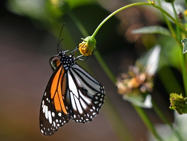 Black-veined Tiger butterfly