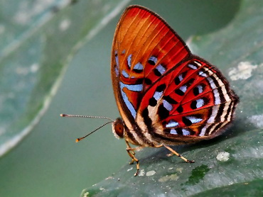 Common Red Harlequin butterfly