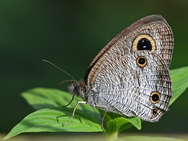 Butterfly; Common Three-Ring