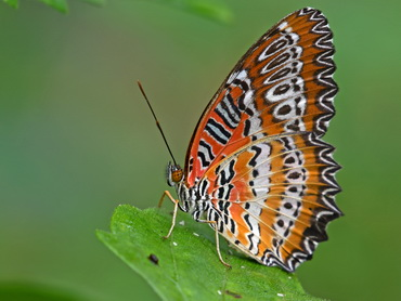 Red Lacewing in Malaysia