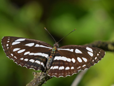 Short-banded Sailor butterfly