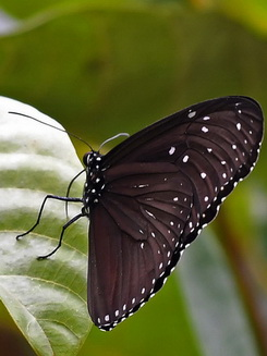 Striped Blue Crow