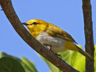 Yellow-spectacled White-eye