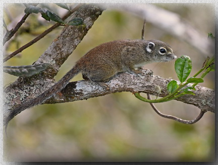 Jentink's Squirrel on Mount Kinabalu