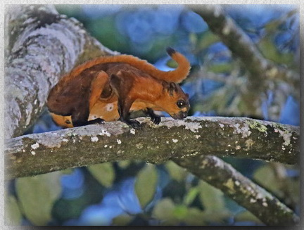 Red Giant Flying Squirrel in Sepilok RDC