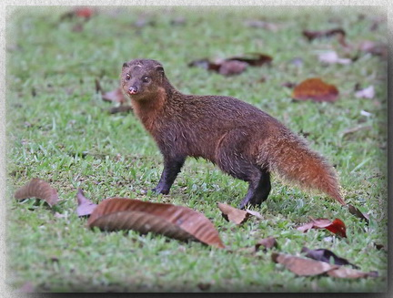 Short-tailed Mongoose at Borneo Highlands