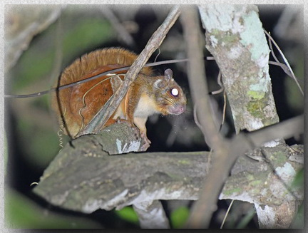 Whiskered Flying Squirrel -borneoensis