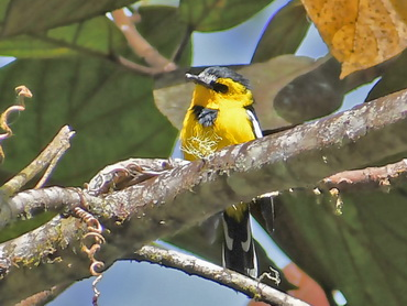 Black-breasted Boatbill
